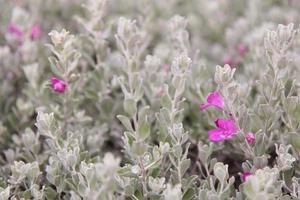 flores de color rosa sobre un fondo blanco foto