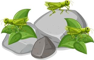 Many grasshopers on stones on white background