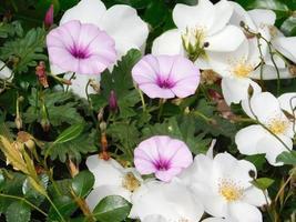 Flores púrpuras y blancas y arbustos en un jardín. foto