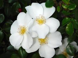 Flores blancas y amarillas y arbustos en un jardín. foto
