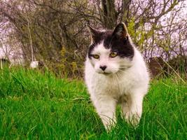 Black and white cat walking in grassy field with trees