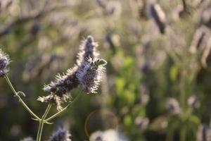 Planta de lavanda en primavera con detalles macro