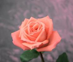 Close-up of a single blooming tint color of orange and pink rose photo