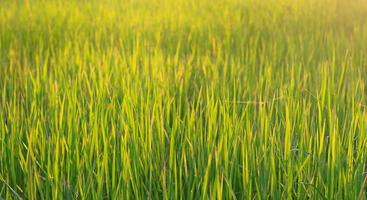 Rice field in the morning with the sun shining through