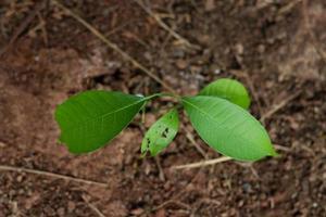 pequeño árbol de mango creciendo