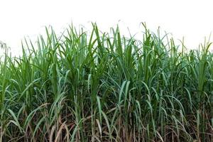 Campo de caña de azúcar sobre fondo aislado