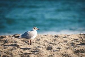 Gaviota mediterránea en la playa foto