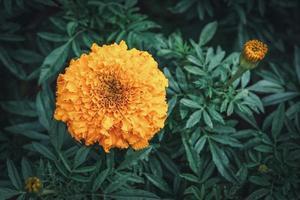 Flor de caléndula africana en un jardín. foto