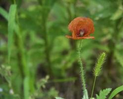 A poppy flower in bloom