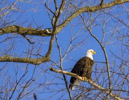 A bald eagle perched on a branch in a bare tree with clear blue sky