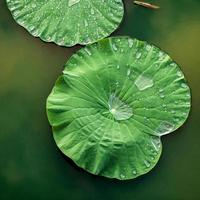Lily pads in the water photo