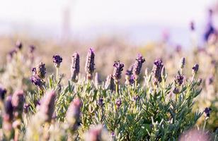 Lavender field during the day