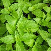 Mint leaves outside photo