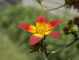 Close-up of yellow and red flower in daylight