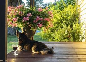 Black dog laying on porch next to glass of wine and pot of flowers with bushes in background photo