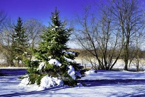 A snow-covered fir tree with a row of bare trees behind it with a clear blue sky photo