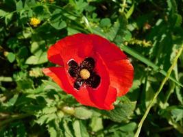 flor roja y arbustos en un jardín. foto