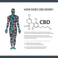 How does CBD work, white information banner with cannabidiol chemical formula and endocannabinoid receptors in the human body. vector
