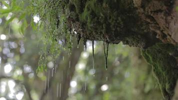 chuva cai floresta, musgo com áudio video