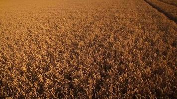 Top view of cornfield. Drone aerial view of a cultivated cornfield ready to harvest