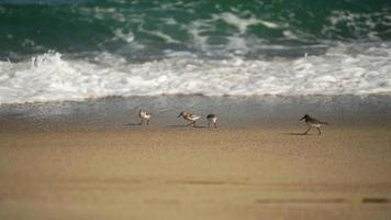 Pájaros en la playa de Primorsky Krai, Rusia video