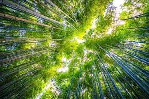 Bamboo grove in the forest at Arashiyama at Kyoto, Japan photo