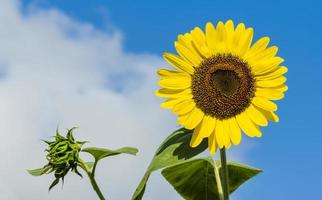 Yellow sunflower against a blue sky photo