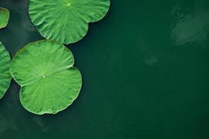 Green lotus leaves photo