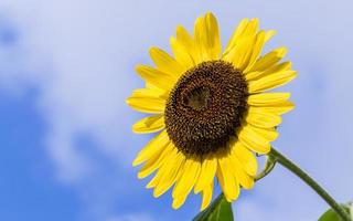 Bright yellow sunflower photo