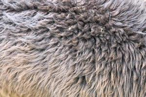primer plano de lana de alpaca