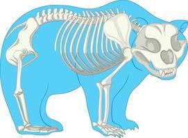 Skeleton Anatomy of wild bear isolated vector