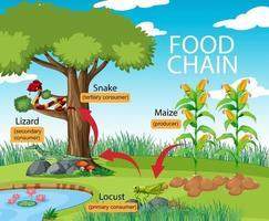 diagrama de la cadena alimentaria de la ciencia vector