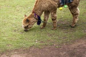 Cute little alpaca from Cusco, Peru photo