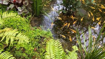 Pez koi dorado japonés en jardín tropical video
