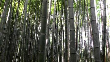 Kioto, Japón en el bosque de bambú. video