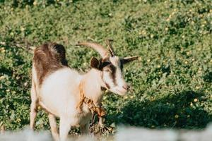 A close-up of a goat eating grass while relaxing on the grass