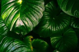 Selective focus of tropical leaf background photo