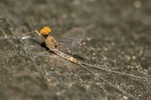 mosca de mayo insecto en la naturaleza