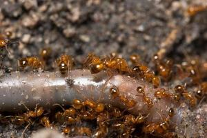 Solenopsis invicta red ant