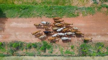 Aerial top view of the masses of many cows walking in the countryside, Thailand