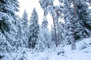 Snow covered trees in winter forest photo