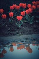tulipanes reflejados en un charco