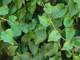 Arbustos verdes en un jardín. foto