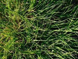 parche de hierba en la luz del sol foto