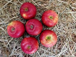 Six apples on a bed of hay or straw background