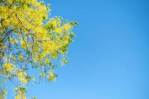 Árbol de lluvia dorada, Cassia fistula flor nacional de Tailandia con un fondo de cielo azul foto