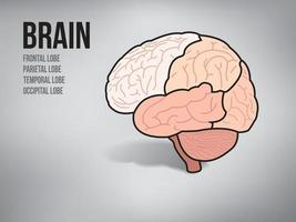 Brain of human on illustration graphic vector