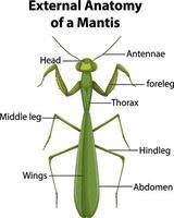 Anatomía externa de una mantis sobre fondo blanco. vector