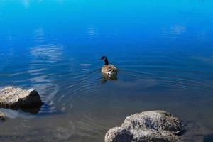 hermoso pato canadiense