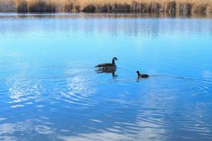 Canadian duck and gallinule bird in lake